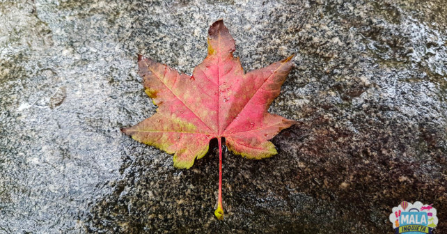 Maple Leaf - Foto: Renata Luppi
