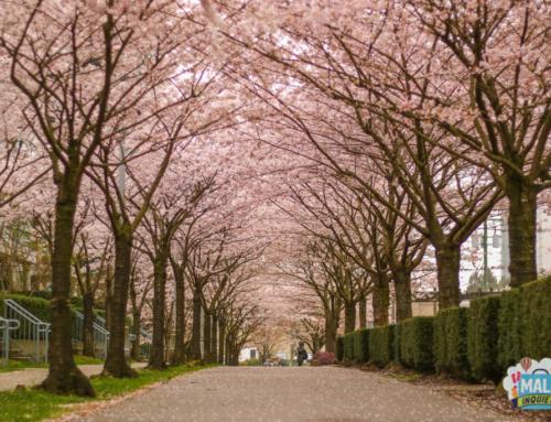 Cerejeiras na região de Vancouver